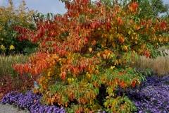 Fulminante Herbstfärbung des Fieberbaums © Cassian Schmidt