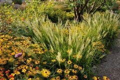 _Rudbeckia-Goldsturm-mit-Calamagrostis-brachytricha  © Cassian Schmidt