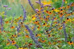 Zart verwoben: Rudbeckia triloba 'Prairie Glow' und Salvia 'Indigo Spire'  © Cassian Schmidt