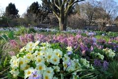 Zauberhafte Frühlingsprimeln (Primula vulgaris) in Pastelltönen  © Cassian Schmidt