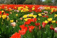 Am Gärtnerhaus des Hermannshof bietet die alljährliche Tulpenblüte ein fulminantes und wohl-orchestiertes Feuerwerk der Farben. Langlebige Darwin-Hybriden wie z. B. `Elizabeth Arden', `Golden Parade' (gelb), `Oxord ' und `Parade' (beide signalrot) sind sehr bewährte Sorten. © Cassian Schmidt