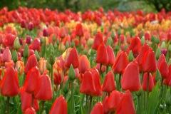 Noch sind die Blüten geschlossen, aber schon farbig, das ändert sich jedoch , sobald die Sonne scheint! © Cassian Schmidt