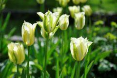 Tulipa viridiflora Spring Green  @ Cassian Schmidt