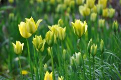 T.-viridiflora-Yellow-Spring-Green  @ Cassian Schmidt