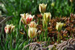 T.-viridiflora-Flaming-Spring-Green  @ Cassian Schmidt